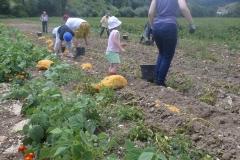 ramassage de pommes de terre route de Conty