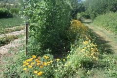 haricots verts toujours les fleurs au pied des légumes pour la pollinisation