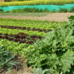rhubarbe et salades